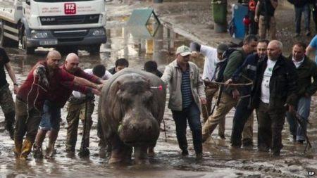 Hippo tblisi
